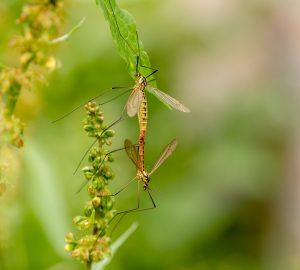 https://pixabay.com/photos/daddy-longlegs-insect-mosquitoes-3460061/